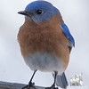 Eastern Bluebird (Sialia sialis)… March 7, 2015.