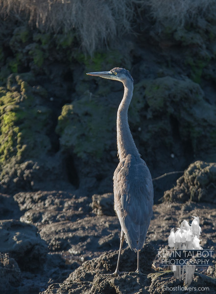 Time to head south little one- Great Blue Heron (Ardea herodias)… December 5, 2015.