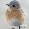Eastern Bluebird (Sialia sialis)… March 3, 2015.