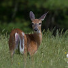 White Tailed Deer (Odocoileus virginianus)- looking at me , listening to her fawns in two different directions… June 9, 2015.