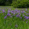 Today in the rain- Blue Flag Iris (Iris versicolor)… June 1, 2015.