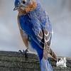 Eastern Bluebird (Sialia sialis)… February 25, 2015.