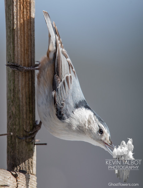 White-breasted Nuthatch (Sitta carolinensis)… January 25, 2015.