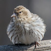 """Do these feathers make me look fat?""- Pine Siskin (Carduelis pinus)… March 26, 2015."