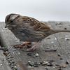 Mrs. White-throated Sparrow (Zonotrichia albicollis)… March 21, 2015.