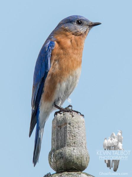 Eastern Bluebird (Sialia sialis)… March 9, 2015.