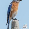 Eastern Bluebird (Sialia sialis)… March 9, 2015.