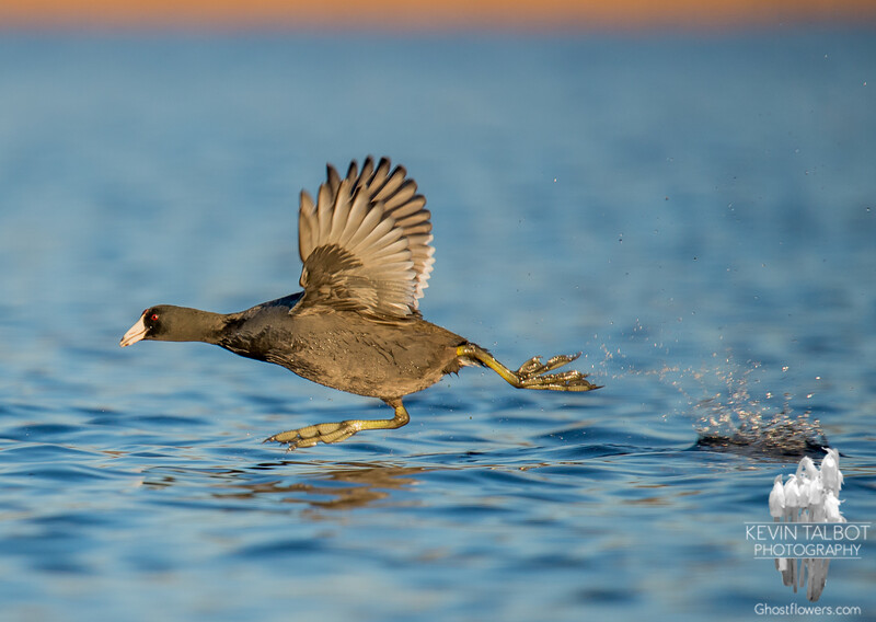 Today on the Powow- American Coot (Fulica americana)… December 7, 2015.