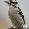 Old friend dropped in- Downy Woodpecker (Picoides pubescens)… November 12, 2015.
