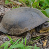 Turtles like this rare and endangered Blanding's Turtle (Emydoidea blandingii) are out now laying their eggs, give them a brake! June 12, 2015.