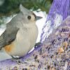 Tufted Titmouse (Parus bicolor)… February 15, 2015.