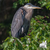 Morning preen-  Great Blue Heron (Ardea herodias)… September 17, 2015.