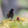 Bugs bugging everyone: Red-winged Blackbird (Agelaius phoenixes)… May 27, 2015.
