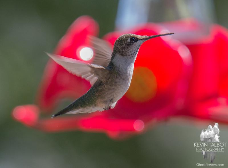 Still around- Ruby-throated Hummingbird (Archilochus colubris)… September 5, 2015.
