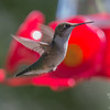 Still around- Ruby-throated Hummingbird (Archilochus colubris)… September 5, 2015.