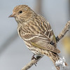 Pine Siskin (Carduelis pinus)… March 8, 2015.