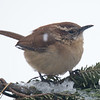 Carolina Wren (Thryothorus ludovicianus)… February 12, 2015.