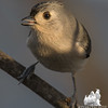 "How many times when questioned, ""How did you know?"" did your mother tell you, ""A little birdie told me!""-Tufted Titmouse (Parus bicolor)… December 12, 2015."