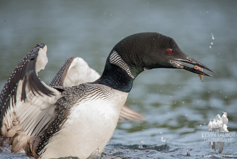 Still feeding her young at Purity Pond-Common Loon (Gavia immer)… September 25, 2015.