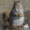 Dropped by for lunch-  Red Squirrel (Tamiasciurus hudsonicus)… November 24, 2015.