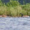 Canada Goose (Branta canadensis)… May 26, 2015.