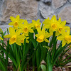 Dwarf daffs in our garden… April 18, 2015.