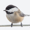 My little chickadee- Black-capped Chickadee (Parus  atricapillus)… January 6, 2015.