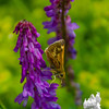 today at Woodsom Farm- Hobomok Skipper (Poanes hobomok) on Cow Vetch (Vicia cracca)… June 19, 2015.