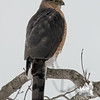 Sharp-shinned Hawk (Accipiter striatus)… February 21, 2015.