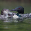 Family- Common Loon (Gavia immer)… September 12, 2015.