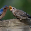 """Open wide!""- Eastern Bluebird (Sialia sialis)… July 20, 2015."