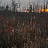 Late afternoon in a marsh- Winterberry (Ilex verticillata)… December 11, 2015.