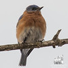Setting sun in a Bluebird's eye- Eastern Bluebird (Sialia sialis)… March 31, 2015.