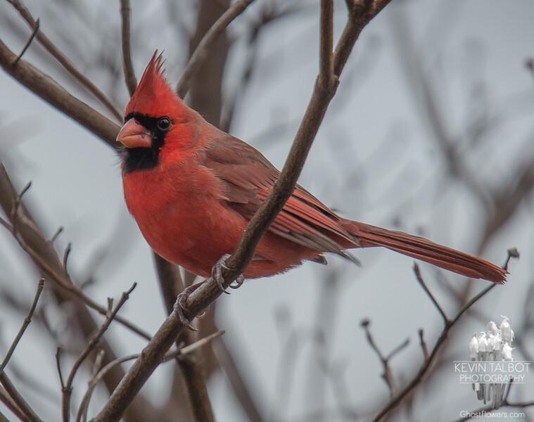 Swatch of color on a dreary day- Cardinal (Cardinalis cardinalis)… November 28, 2015.