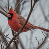 Swatch of color on a dreary day- Cardinal (Cardinalis cardinalis)… November 28, 2015.