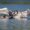 Big brother helps little sister find some fish- Common Loon (Gavia immer)… September 14, 2015.
