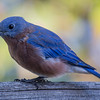 Another Bluebird Day-Eastern Bluebird (Sialia sialis;)… September 24, 2015.