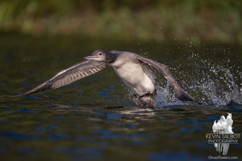 """Hey Uncle Kevin, look what I can do now!-  Common Loon (Gavia immer)… September 7, 2015."