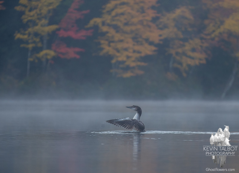 October Loon Chick-This morning on Hatch Pond… October 13, 2015.