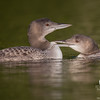 """Tag! You're it!""- Common Loon (Gavia immer)… September 6, 2015."