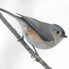Tufted Titmouse (Parus bicolor)… February 19, 2015.