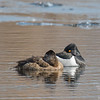 Naptime for Mr.& Mrs.Ring-necked Duck (Aythya collaris)… April 2, 2015.