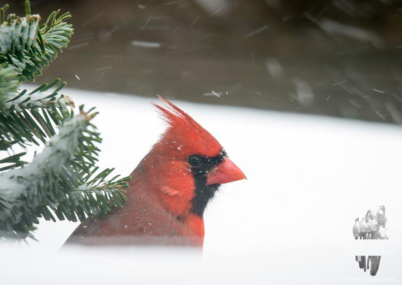 Cardinal (Cardinalis cardinalis)… January 27, 2015.