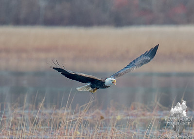 Still visiting the Powow- Bald Eagle (Haliaetus leucocephalus;)… November 16, 2015.