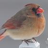 Cardinal (Cardinalis cardinalis)… January 28, 2015.