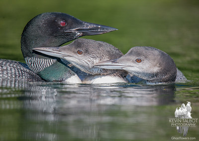 """We wuvs da mommy. Now we can haz fish?""-Common Loon (Gavia immer)… September 1, 2015."