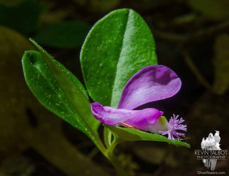 Fringed Polygala (Polygala paucifolia) today in Kingston Town Forest… May 21, 2015.