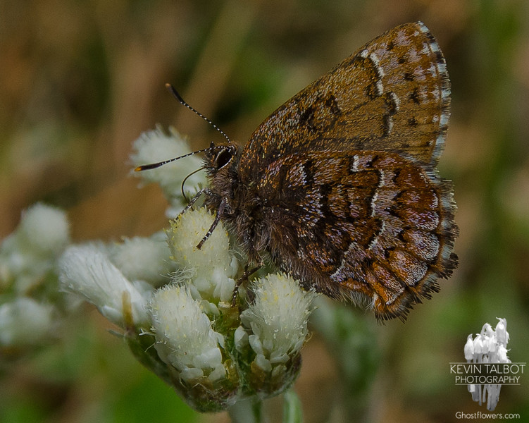 Eastern Pine Elfin (Callophrys niphon) on Plaintan-leaved Pussytoes (Antennaria plantaginifolia)… May 12, 2015.