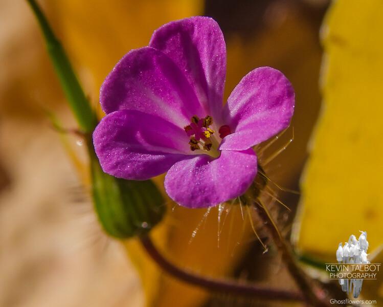 Today-Still among the leaves on the forest floor- Herb Robert (Geranium robertianum)… November 8, 2015.