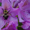 American Bumblebee (Bombus pennsylvanicus) on Rhododendron (Rhododendron rhododendron)… May 30, 2015.